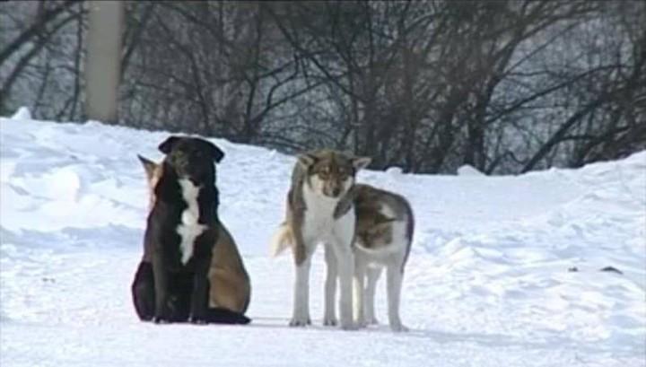 В Красноярском крае стая собак атаковала марала