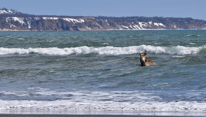 Погоня медведя за купающимся в Тихом океане лосем попала на видео