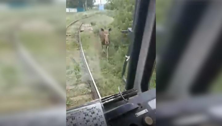 В Салавате лось напал на трамвай