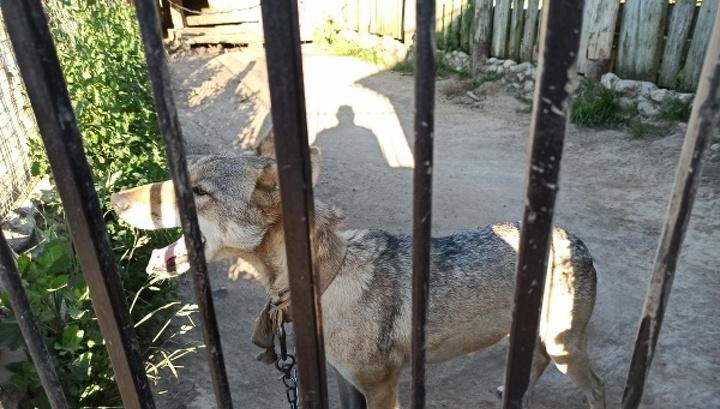 В фермерском хозяйстве под Костромой волчица покусала 6-летнюю девочку