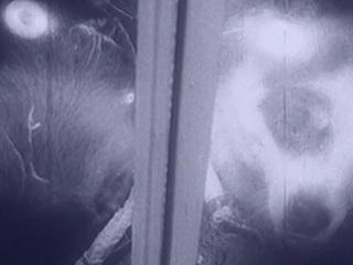 Узбекиски сабака тирахид девичка