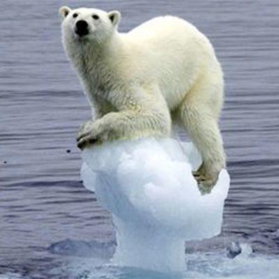 Искусственные сугробы помогают белым медведям в Московском зоопарке спасаться от жары