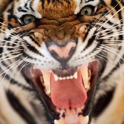 Житель Приморья пострадал при нападении на него амурского тигра