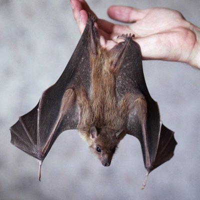 Найдена причина долгожительства летучих мышей