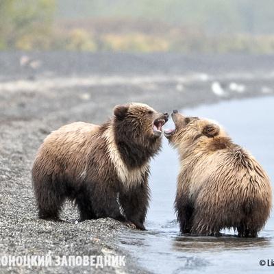 В Саратовской области медведица напала на людей