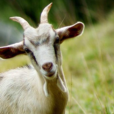 Турецкий клуб на вырученные деньги от продажи футболистов купил 10 коз