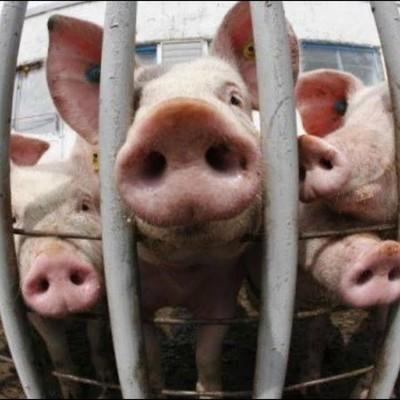 Вспышка африканской чумы свиней зафиксирована в провинции Цзянсу