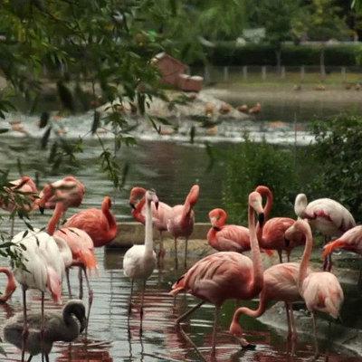 Фламинго Московского зоопарка снова поселились на Большом пруду