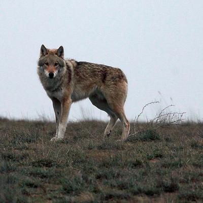 Напавший на людей в Крыму волк был заражен бешенством
