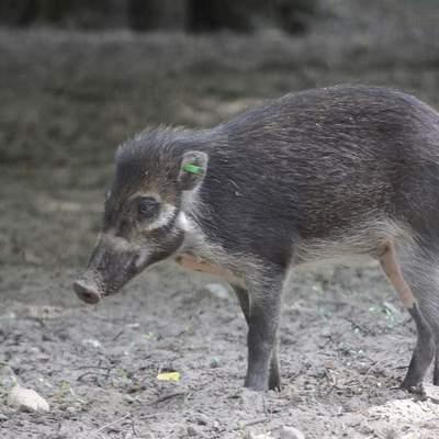 Свиньи выкопали ямки с помощью коры и палок