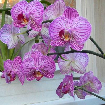 Орхидея фаленопсис может негативно сказаться на личной жизни молодых пар