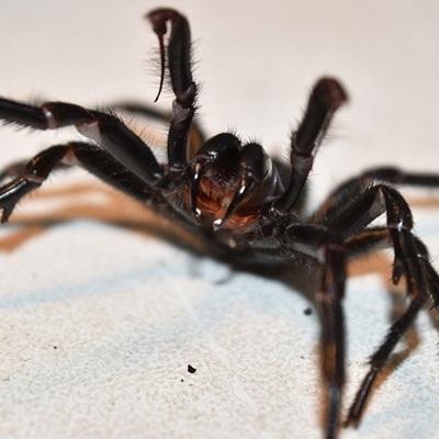 Австралию атаковали ядовитые пауки