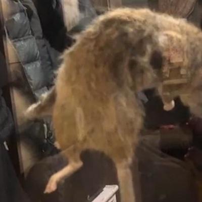 Крысу-гиганта размером с бобра поймали в Тверской области