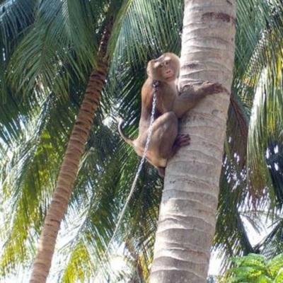 Британские магазины отказались от продажи кокосов, собранных обезьянами
