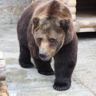 Медведь напал на грибника на 127-м км Минского шоссе в Можайском городском округе