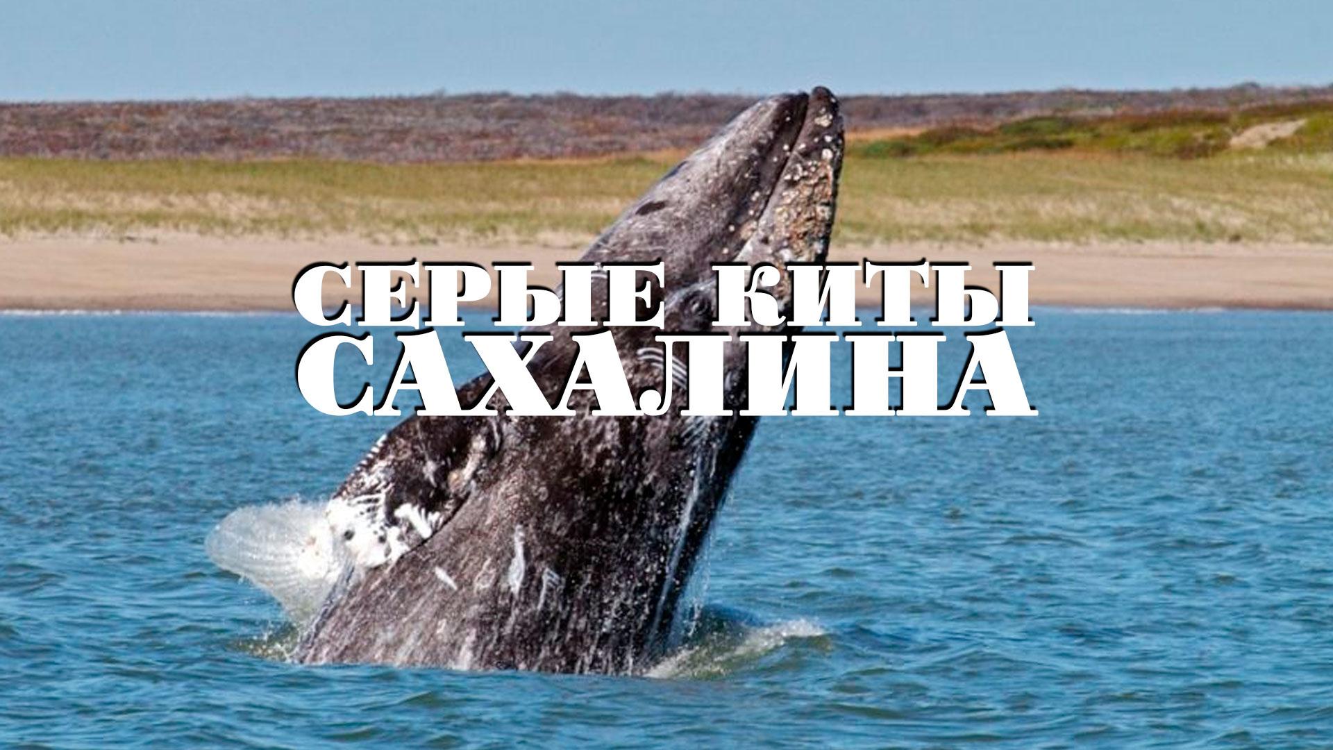 Серые киты Сахалина