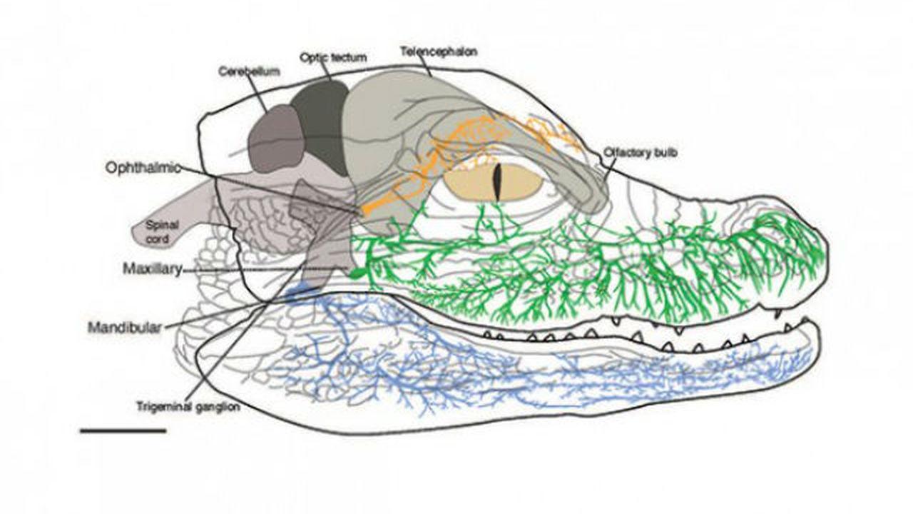 Несмотря на свою толстокожесть, крокодилы оказались чрезвычайно чувствительными животными
