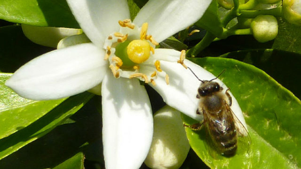 Растения подсаживают пчёл на кофеин