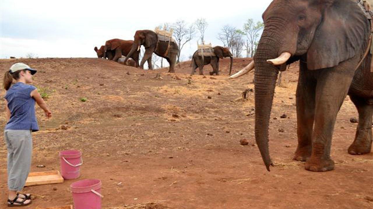 Слоны интуитивно понимают указательные жесты человека