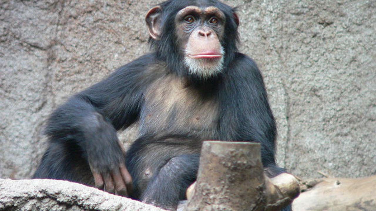 Интеллект шимпанзе передается по наследству