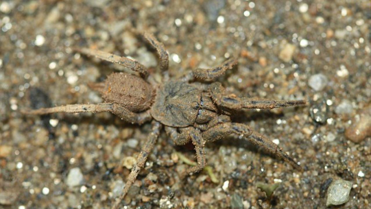 Мексиканские пауки маскируются с помощью грязи