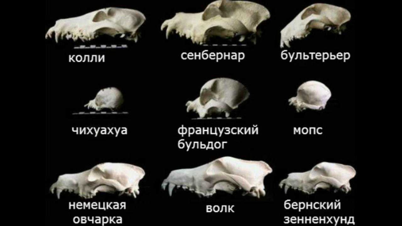 Учёные пересмотрели теории об одомашнивании собак