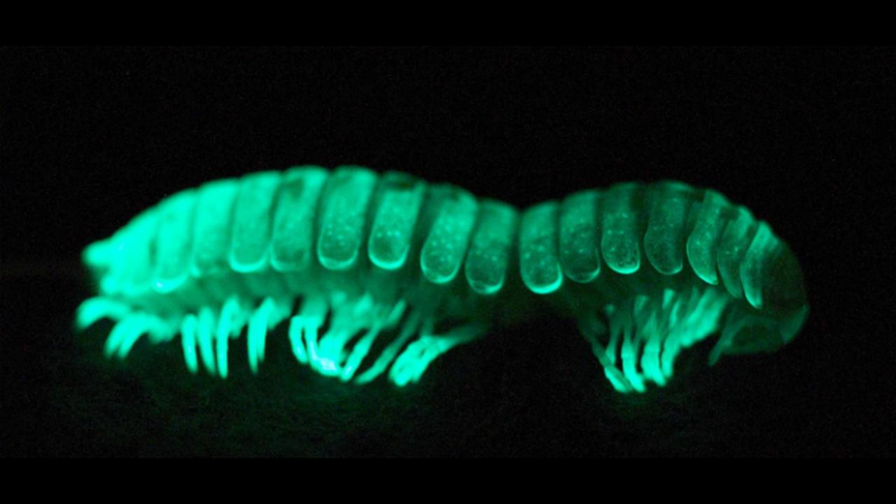 Биологи разобрались, зачем многоножки светятся