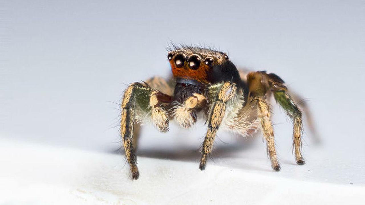 У пауков-скакунчиков обнаружены уникальные визуальные способности