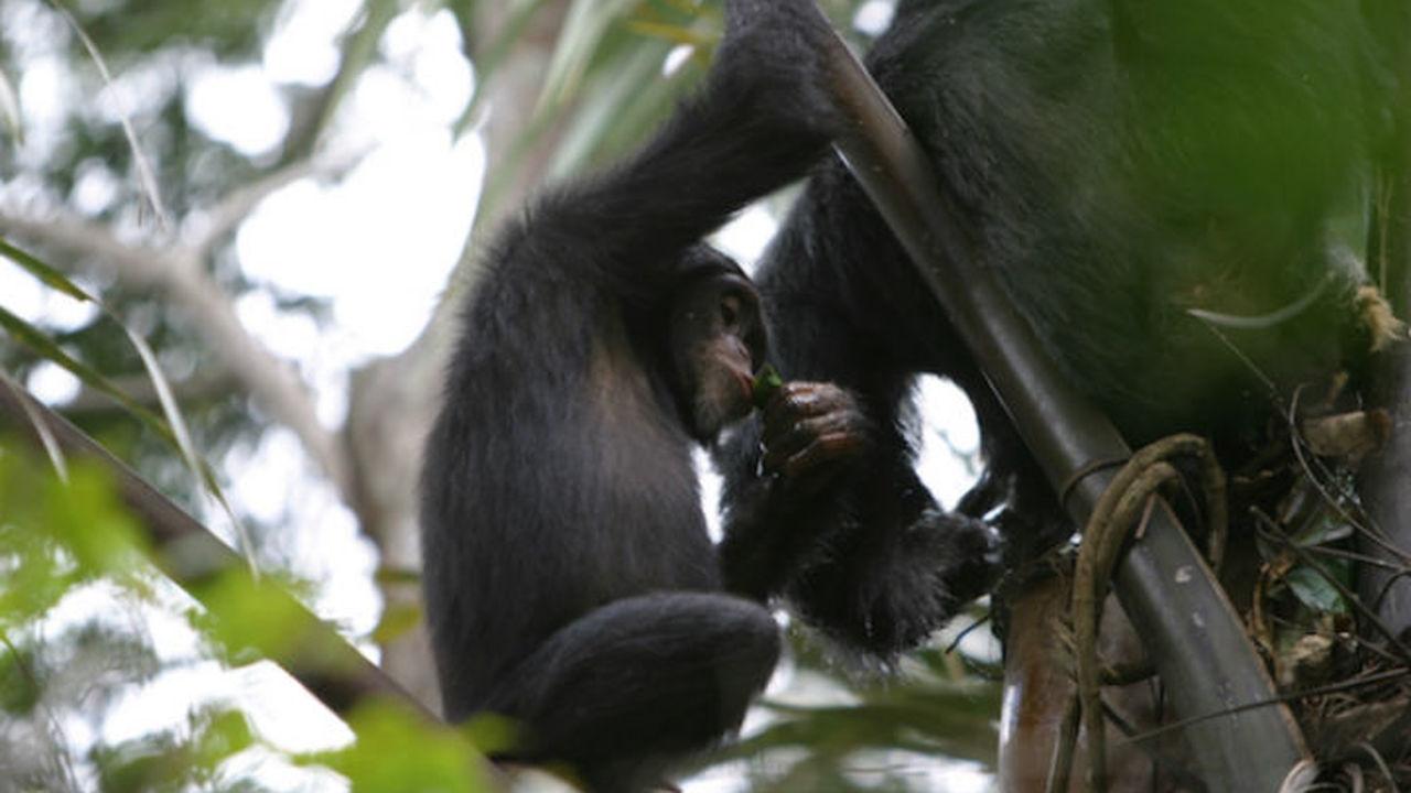 Диких шимпанзе уличили в пристрастии к выпивке