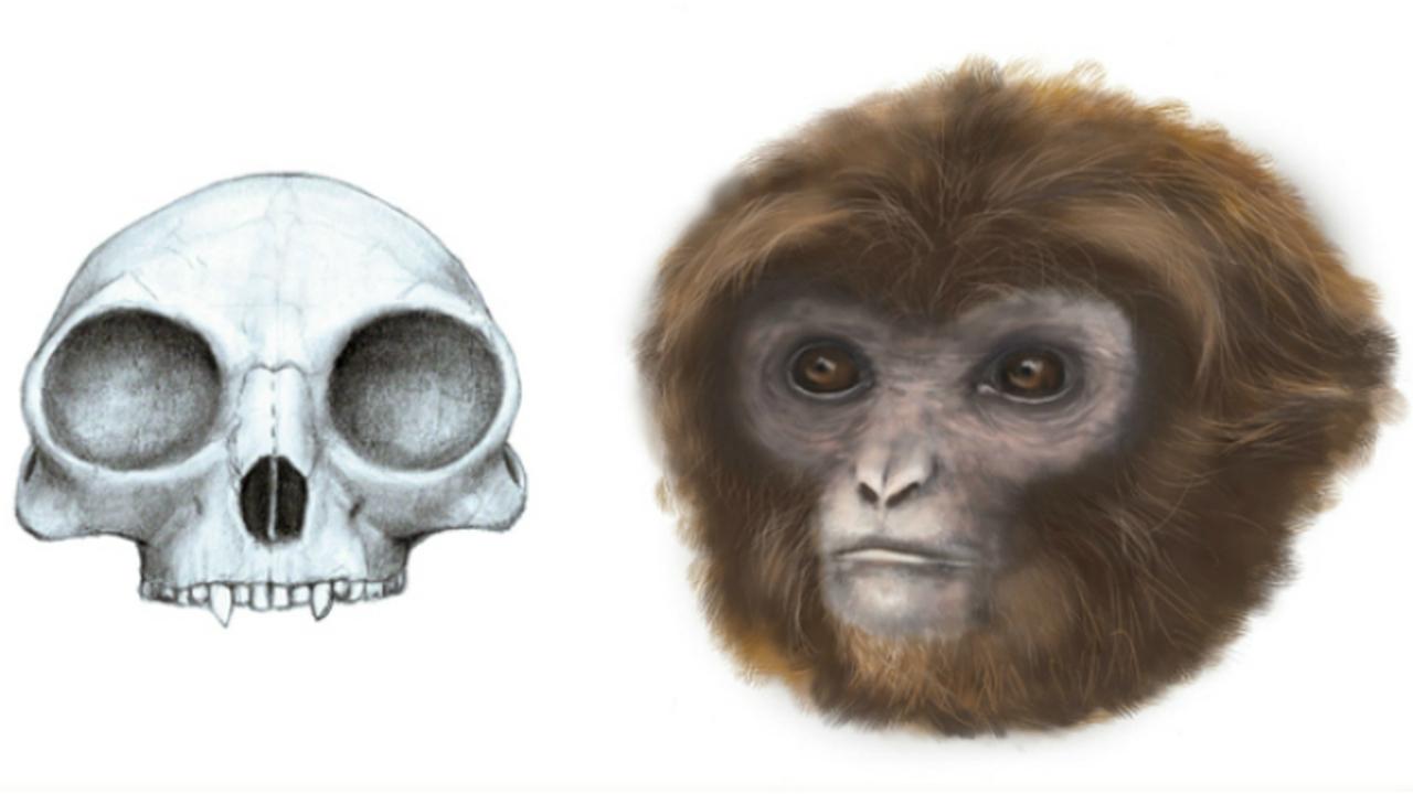 Праматерь обезьян, вероятно, была миниатюрной
