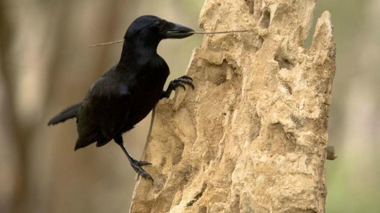 Камеры показали, как ворон использует инструменты при строительстве