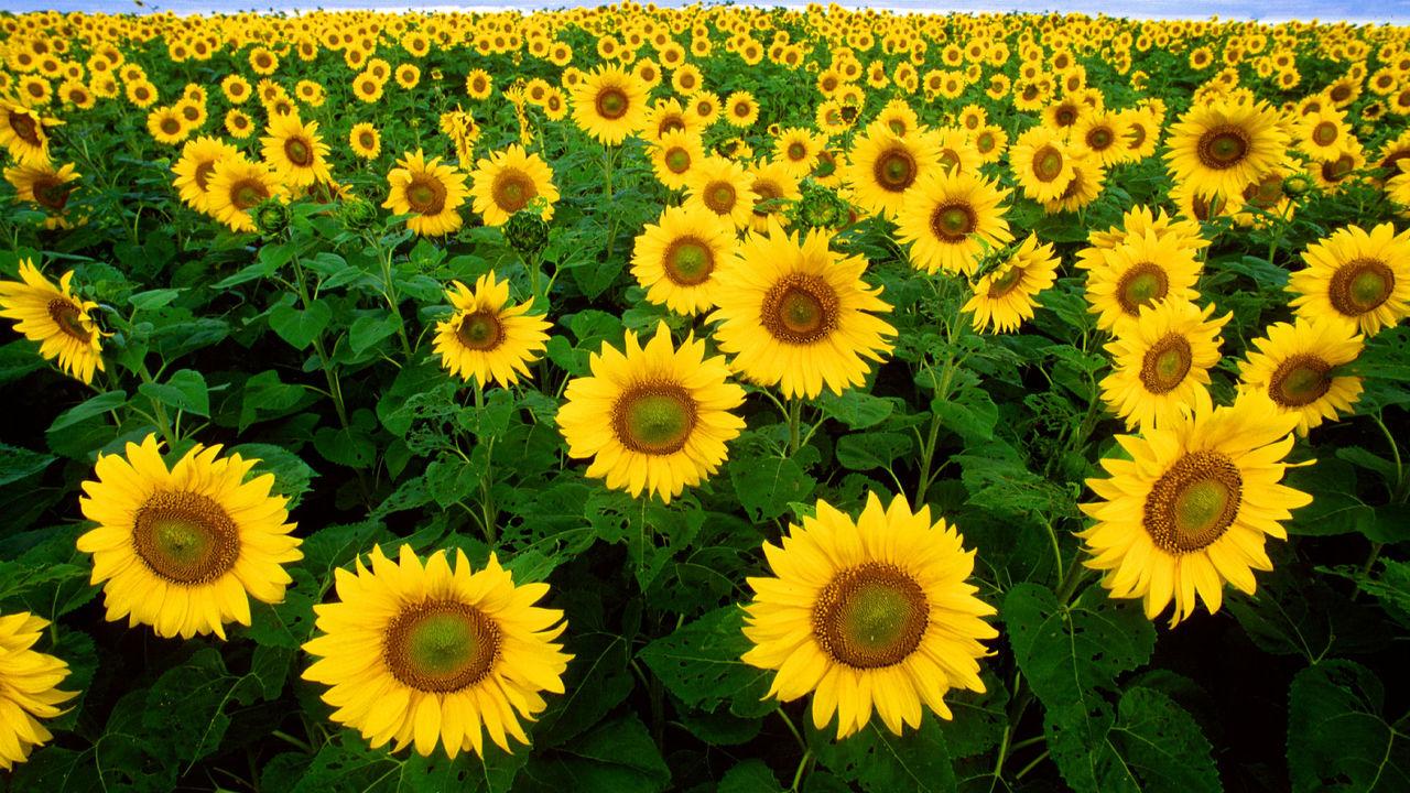 """Вслед за солнцем: учёные выяснили, почему молодые подсолнухи """"поклоняются"""" светилу"""