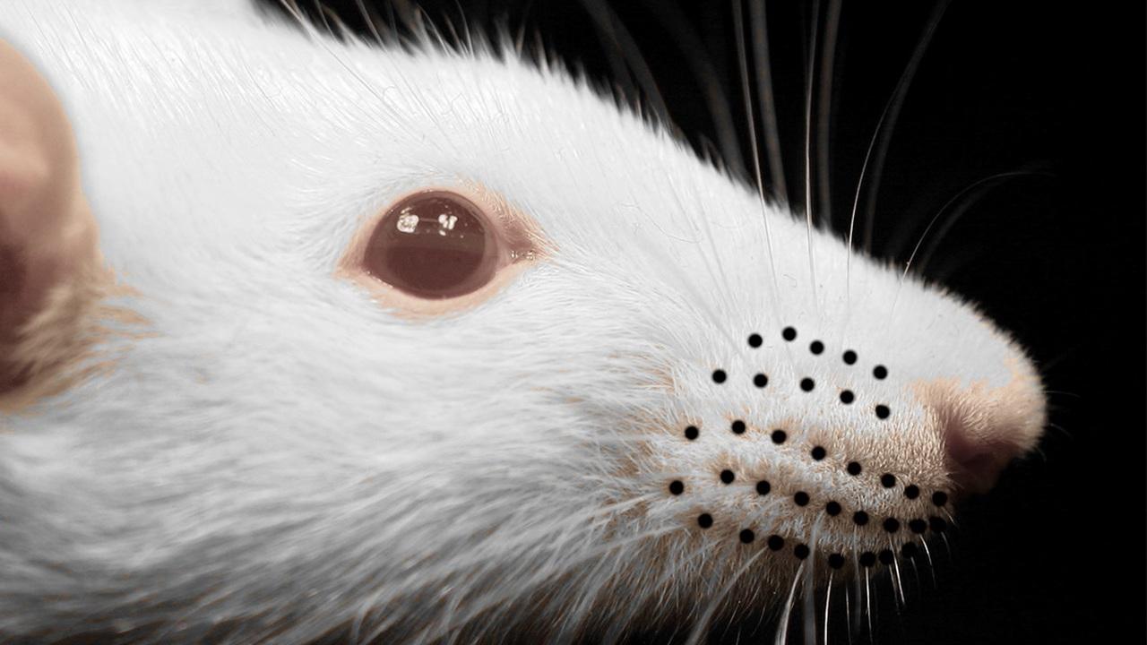 Держи ус по ветру: биологи раскрыли секрет навигации грызунов