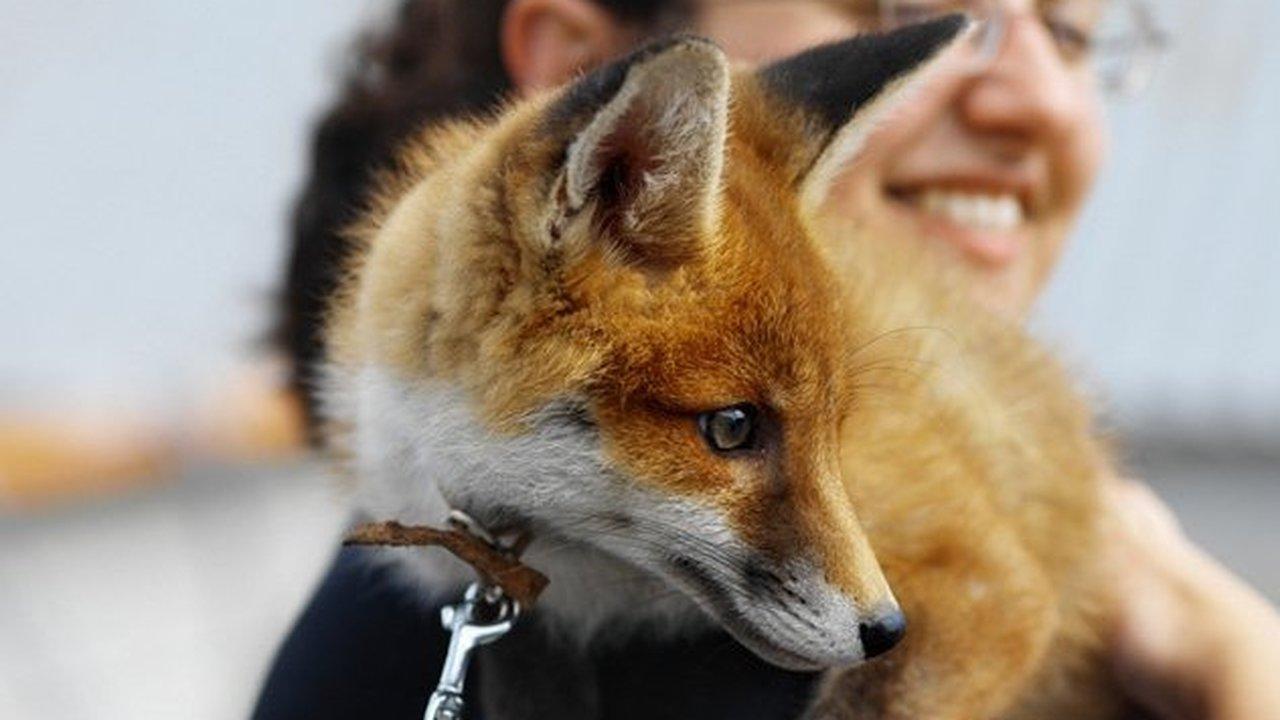 Российский генетик доказал теорию одомашнивания собак на примере лис