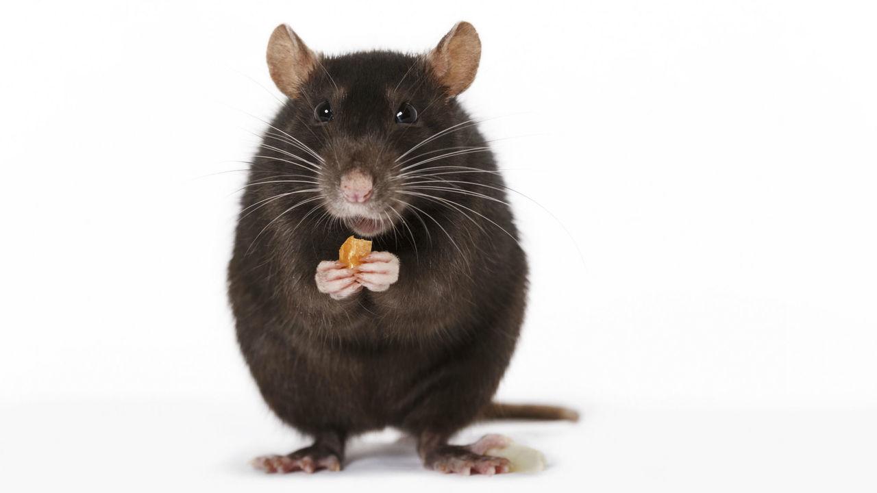 Хитрость ради сладости: крысы используют инструменты, чтобы добраться до лакомства