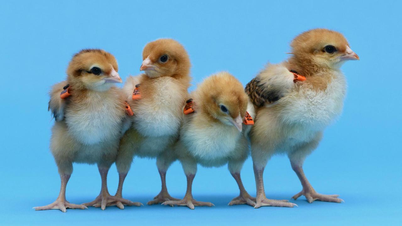Суррогатные куры будут нести яйца вымирающих видов птиц