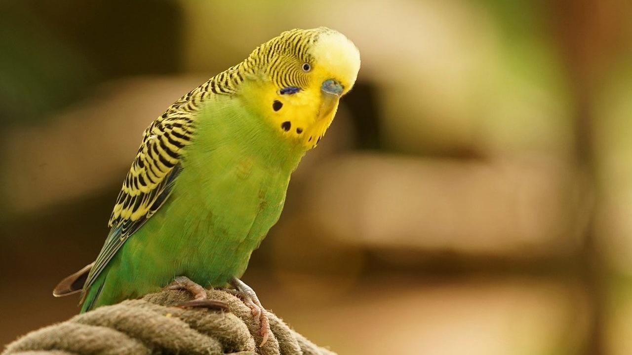 Способность распознавать речь у попугаев оказалась врождённой