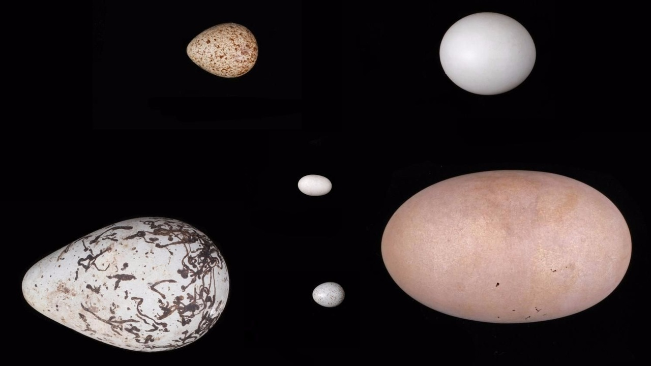 Разнообразие форм птичьих яиц диктует физика полёта