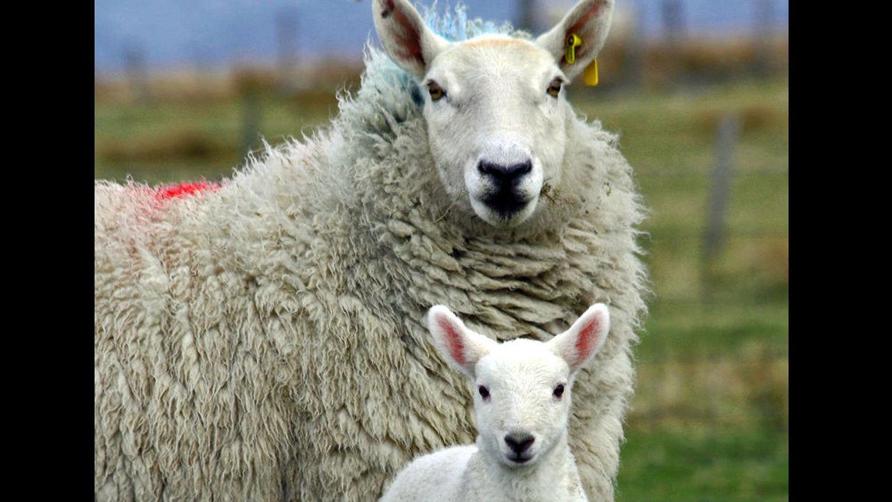 Овцы научились узнавать знаменитостей с разных ракурсов