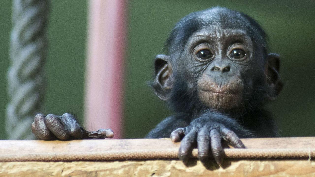 Бонобо бескорыстно помогут незнакомцам, а бабуины разработали отличную тактику воровства