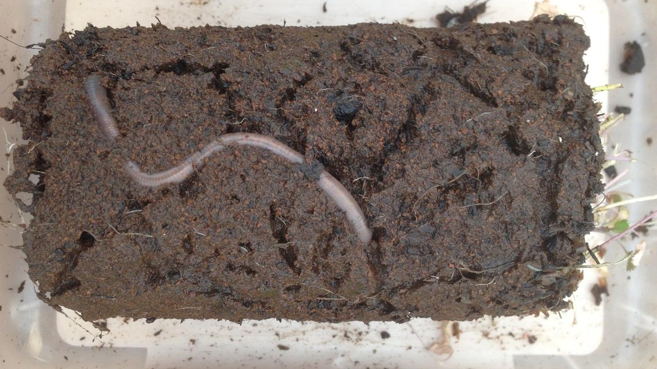 Удобряют и размножаются: дождевых червей впервые запустили в марсианскую почву