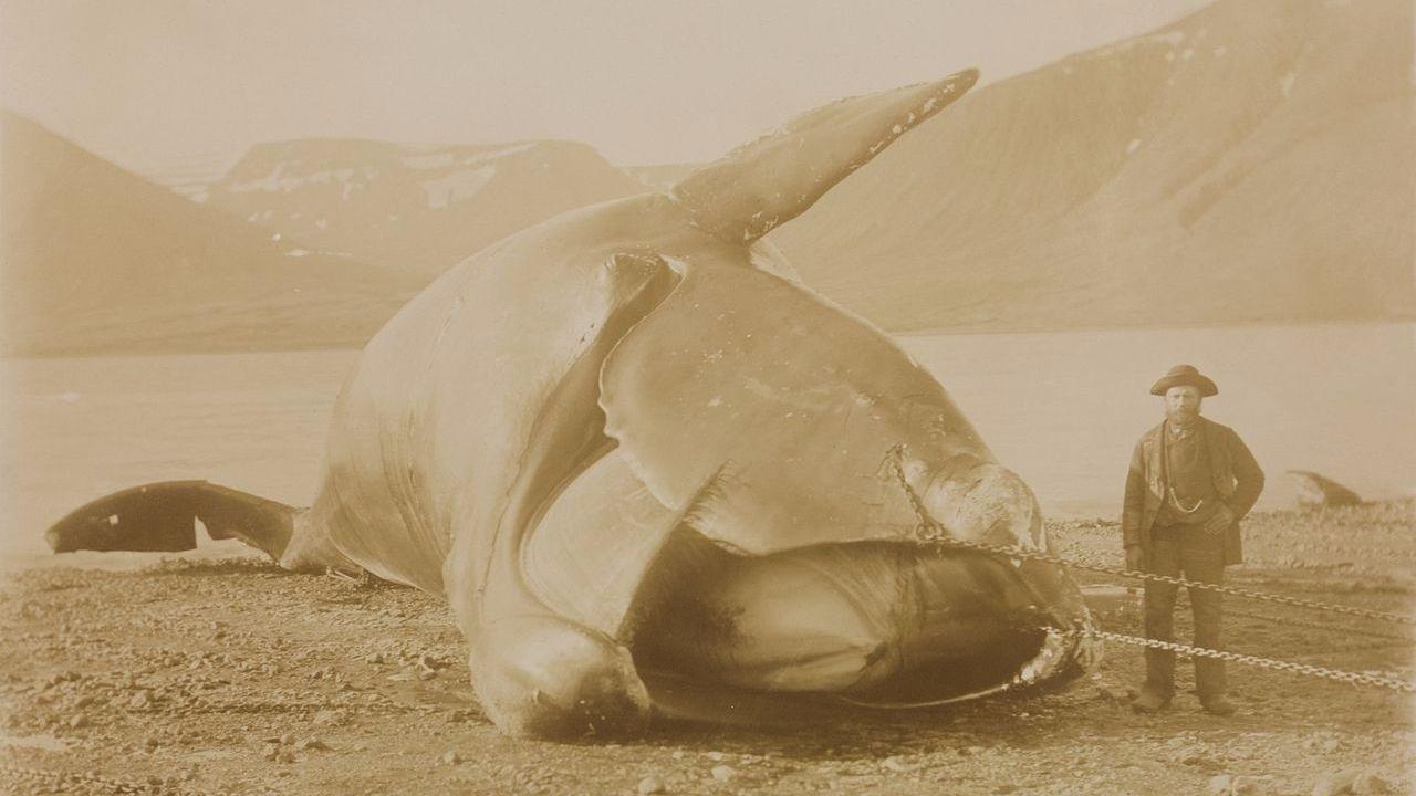 На грани: у северных гладких китов осталось всего 100 половозрелых самок