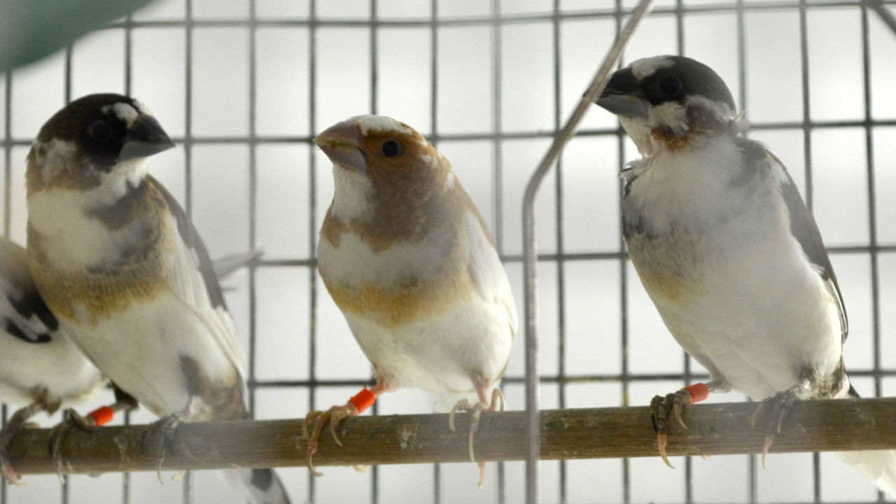 Мелодии и ритмы у птиц в генах и только живое общение может их скорректировать