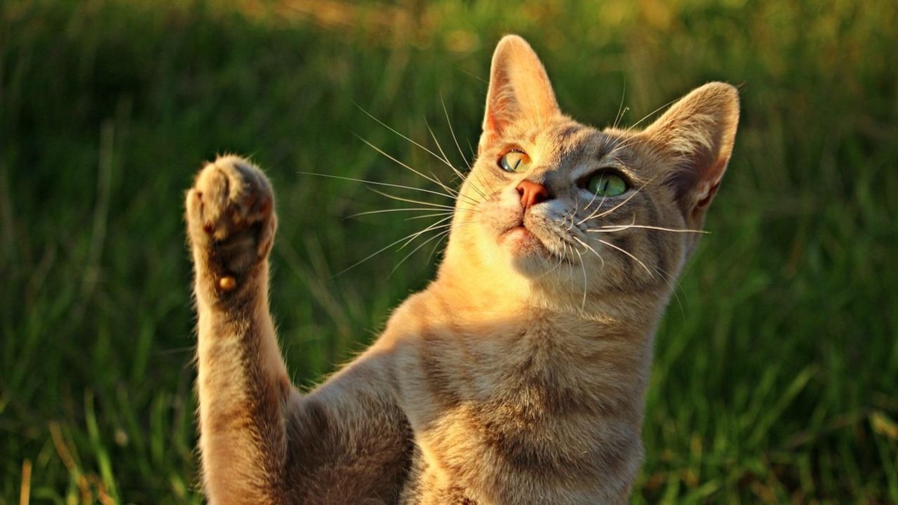 """Кошки делятся на """"правшей"""" и """"левшей"""" по половому признаку"""