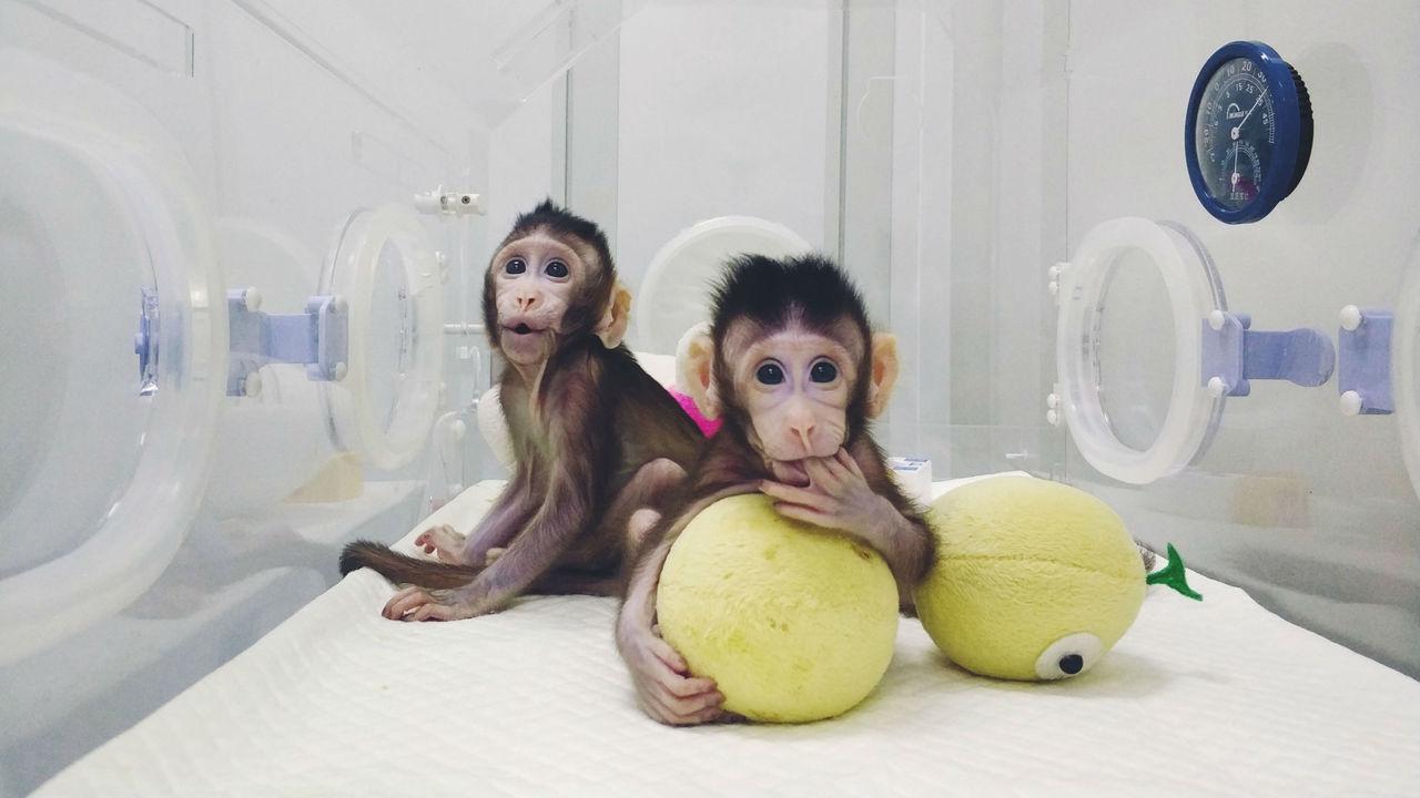 По стопам Долли: биологи представили первых клонов обезьян