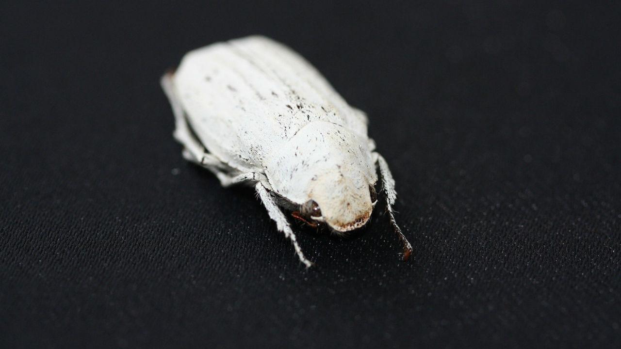 Необычные жуки вдохновили учёных на создание ультрабелого покрытия