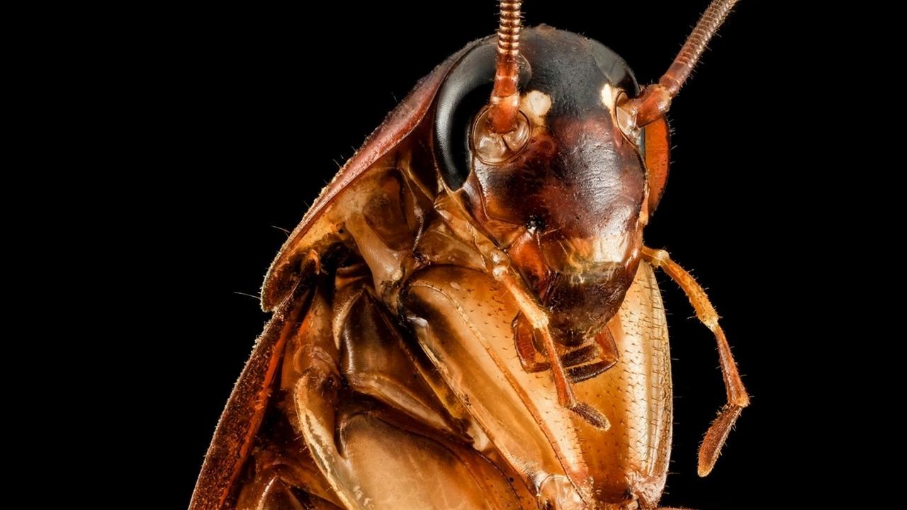 История эволюционного успеха: секрет живучести тараканов кроется в их генах