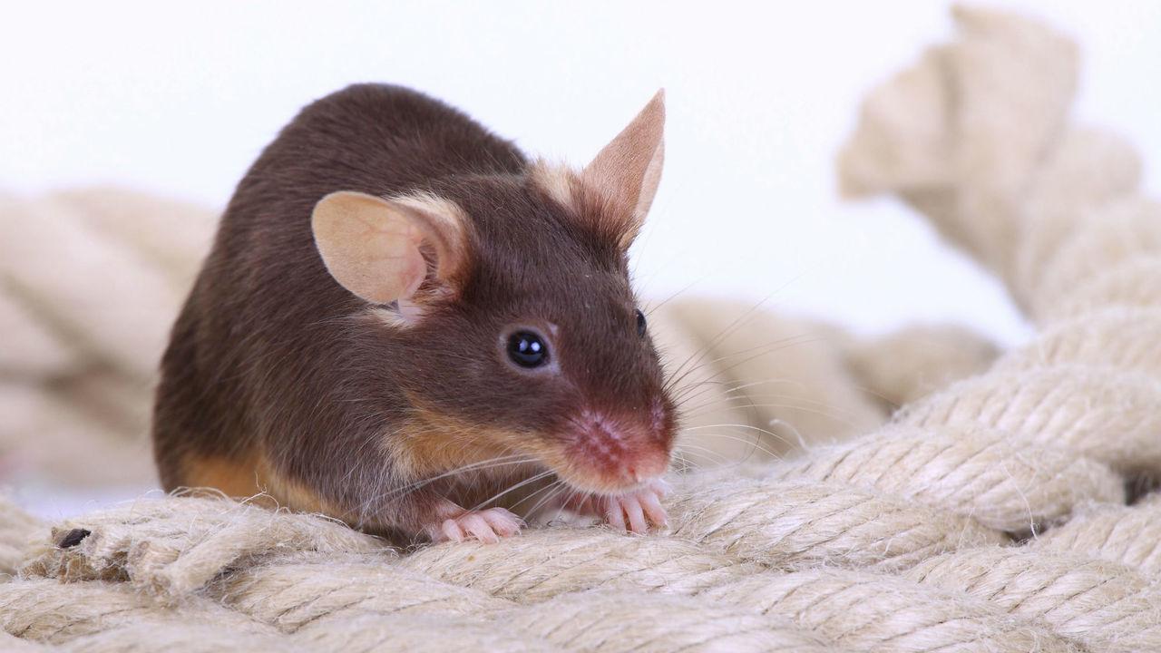 Ради спасения жизни мыши вынуждены считаться с крысиными слезами