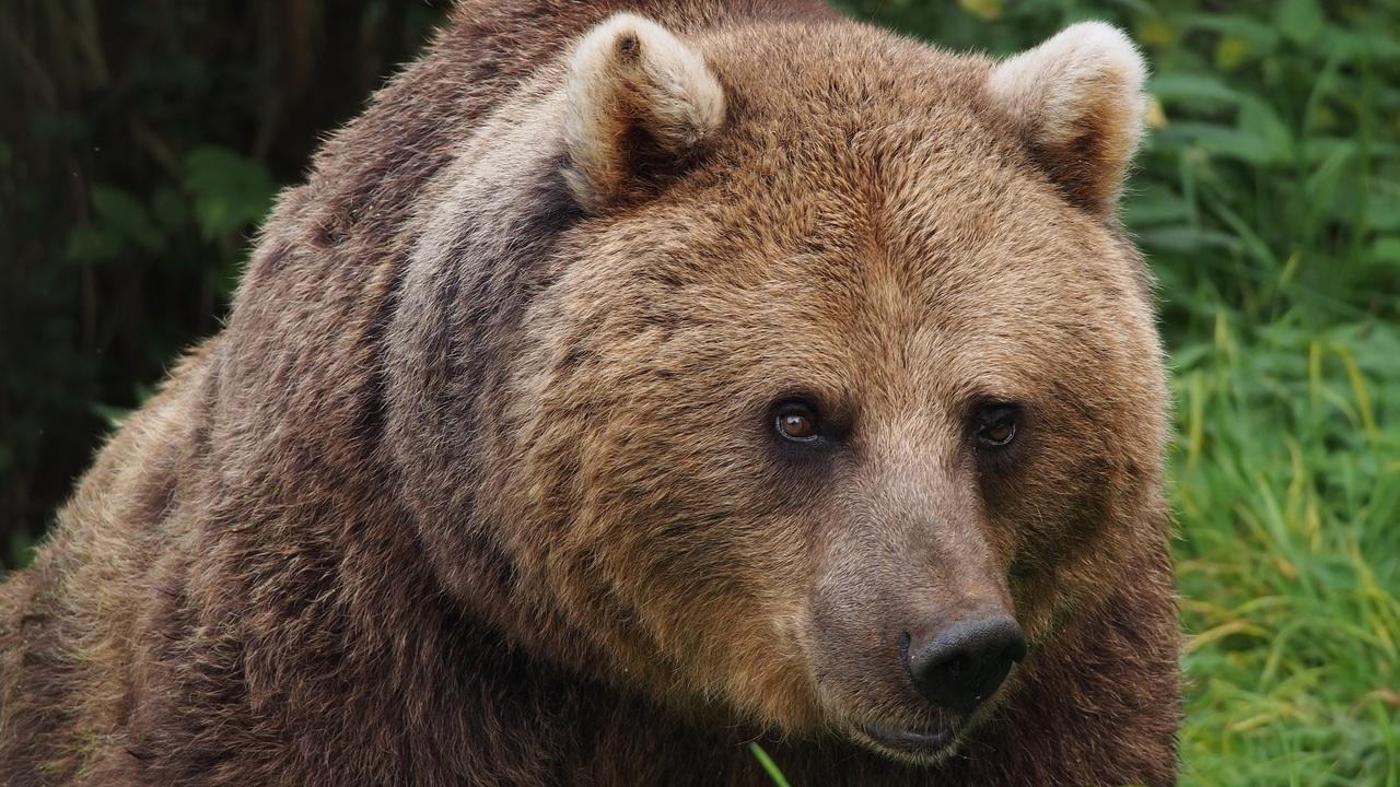 Российские биохимики нашли новый антибиотик в слюне медведя