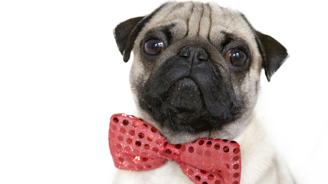 Опровергнут миф об исключительном интеллекте собак